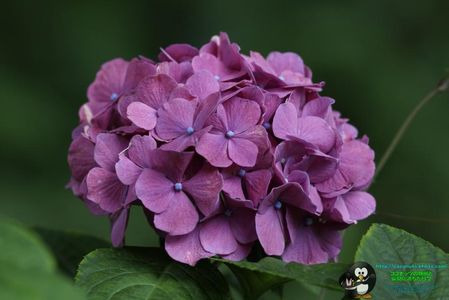 still-a-hydrangea-03_027